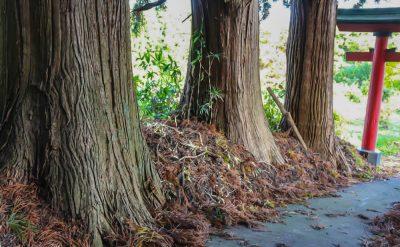 諏訪神社の杉